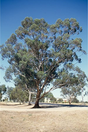 Eucalyptus Astringens Tree