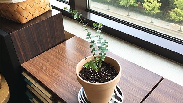 Grow Eucalyptus in a Container