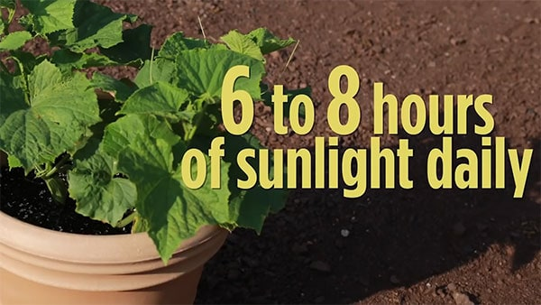 cucumber plant growing in potting plant with text ' 6 to 8 hours of sunlight daily'