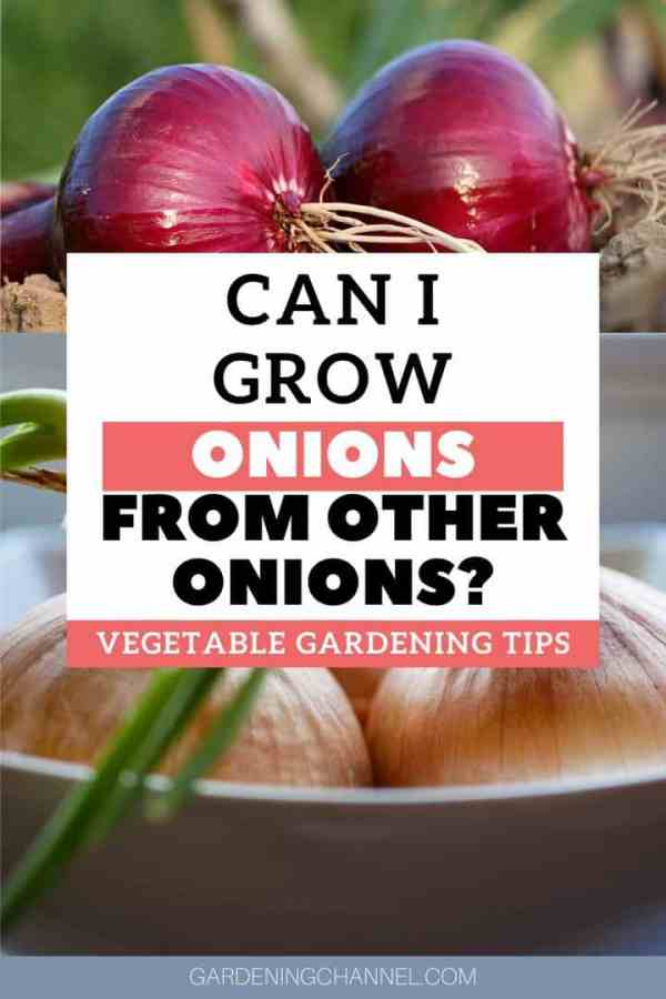 harvested onions with roots and sprouting with text overlay can i grow onions from other onions vegetable gardening tips