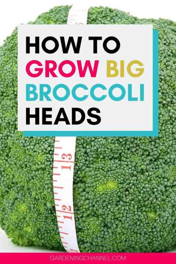 broccoli with measuring tape with text overlay how to grow big broccoli heads