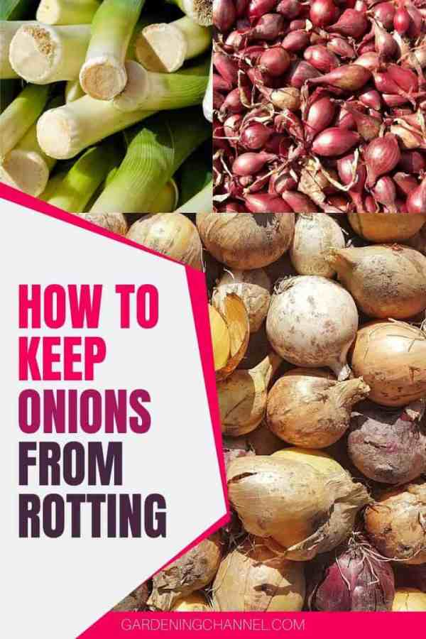 leeks shallot onions with text overlay how to keep onions from rotting