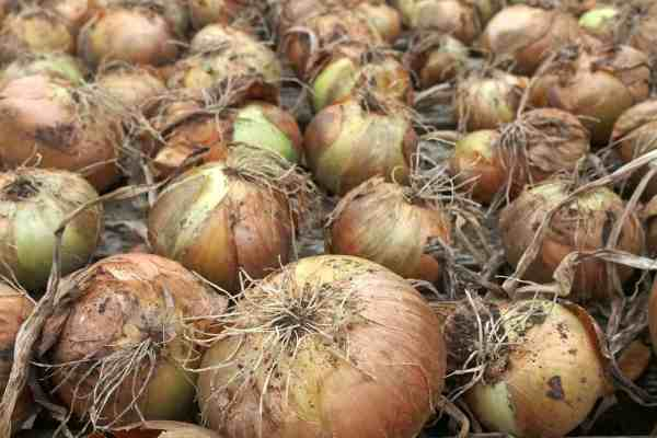 onions drying in sun