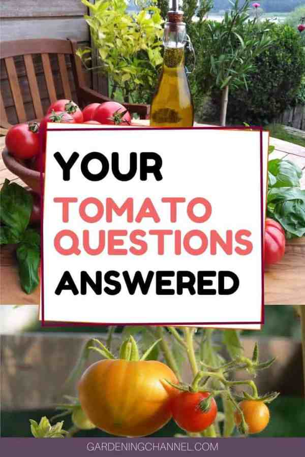 harvested tomatoes and garden tomatoes with text overlay your tomato questions answered