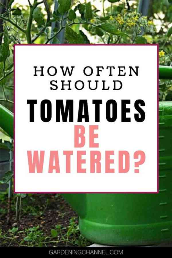 tomato plant watering can with text overlay how often should tomatoes be watered