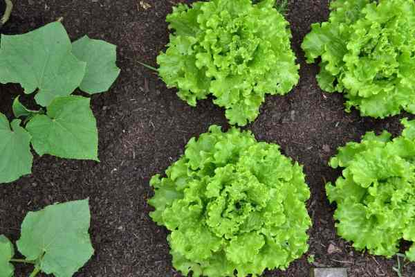 companion plants for lettuce