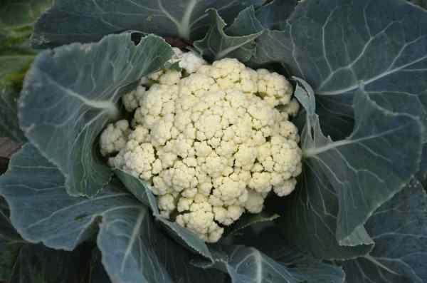 growing cauliflower at home