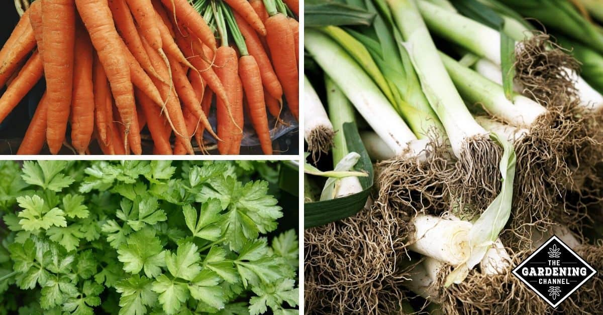 What can I plant with leeks? - Gardening Channel Leek Companion Plants