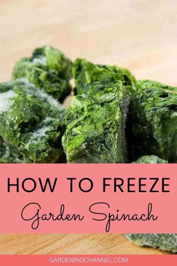 frozen spinach cubes with text overlay how to freeze garden spinach