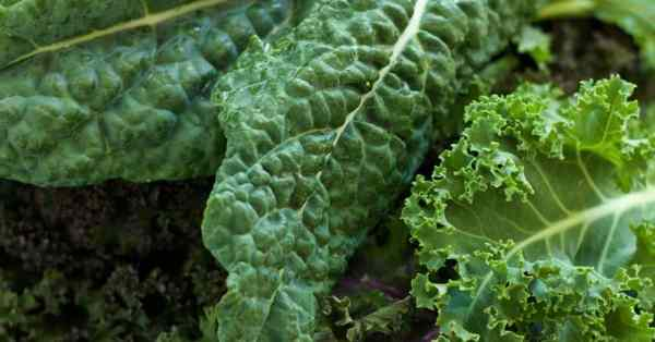 growing kale from leaf