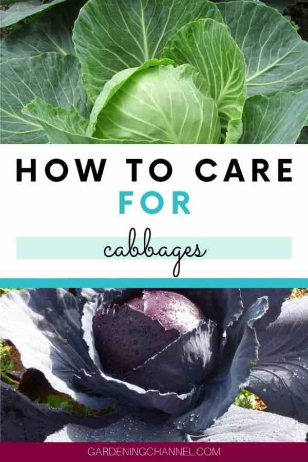 white cabbage purple cabbage with text overlay how to care for cabbages