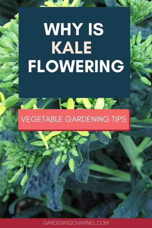 kale flowers with text overlay why is kale flowering vegetable gardening tips