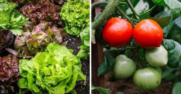 lettuce and tomato fertilizer