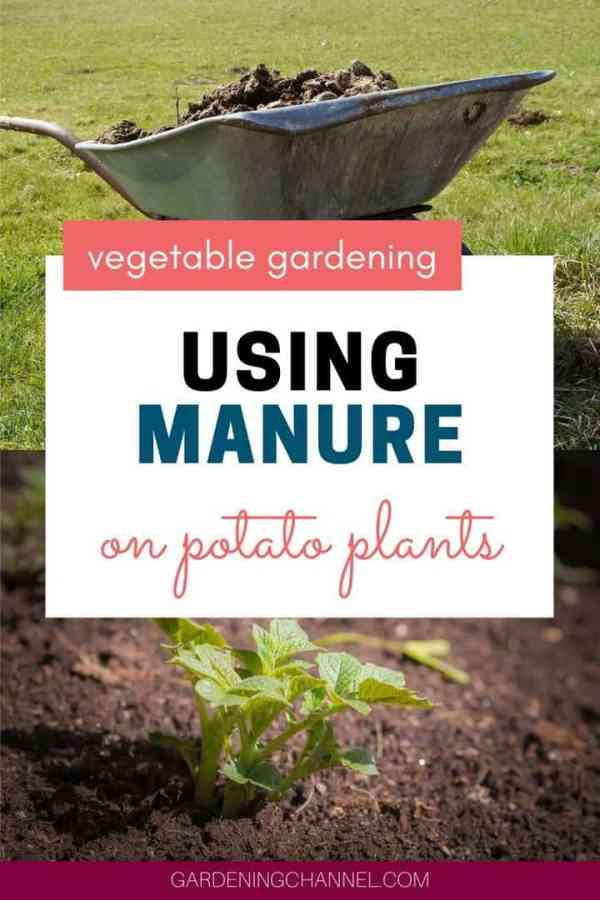 composted manure potato plant with text overlay vegetable gardening using manure on potato plants