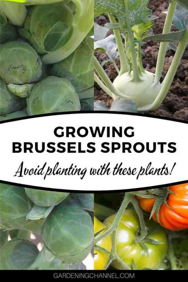 brussels sprouts tomatoes kohlrabi with text overlay growing brussels sprouts avoid planting with these plants