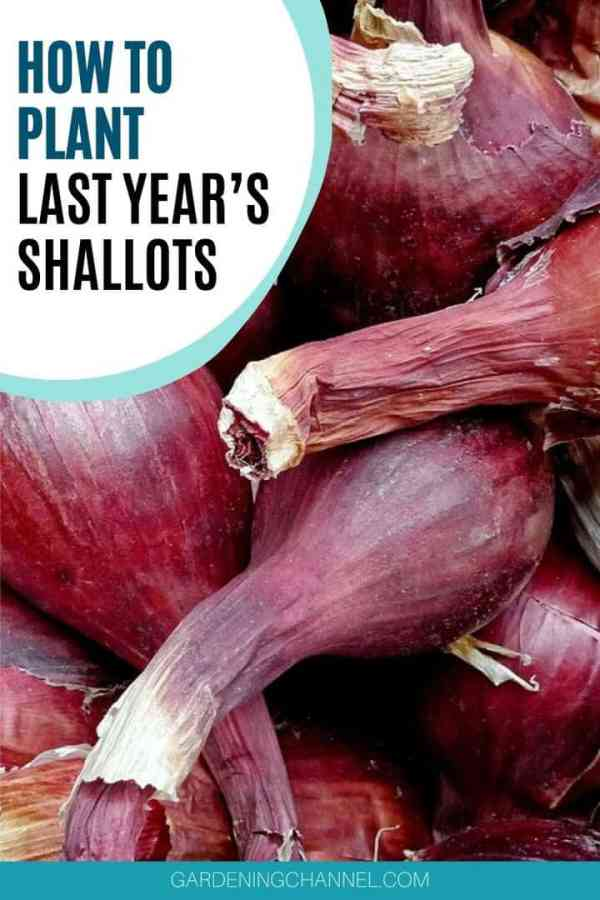 shallots with text overlay how to plant last year's shallots