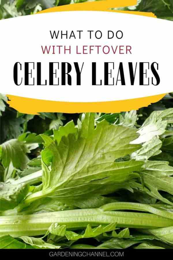 celery leaves with text overlay what to do with leftover celery leaves