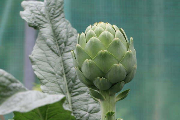 artichoke growing in garden