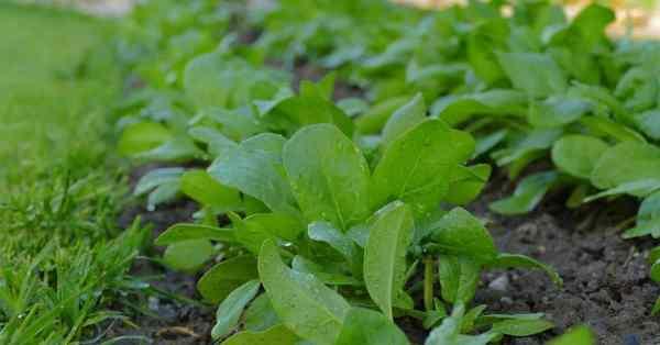 fertilizing spinach