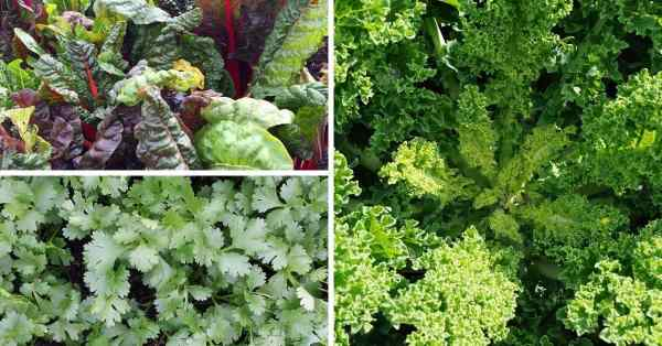 What is a good companion plant for kale? - Gardening Channel Companion Planting Kale