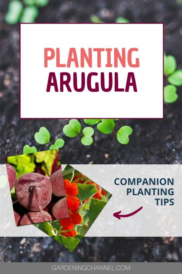 arugula seedlings beets Nasturtium with text overlay planting arugula companion planting tips