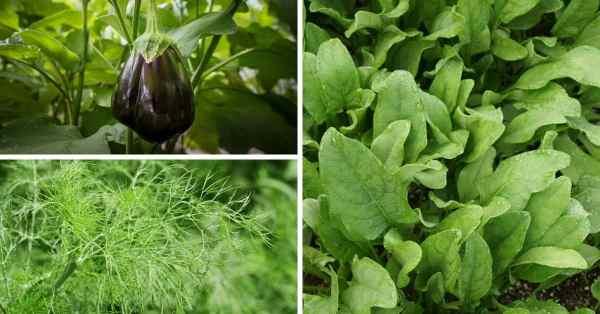 companion planting spinach