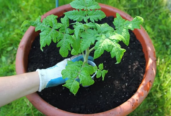 Tomatoes To Grow In Pots-Planting