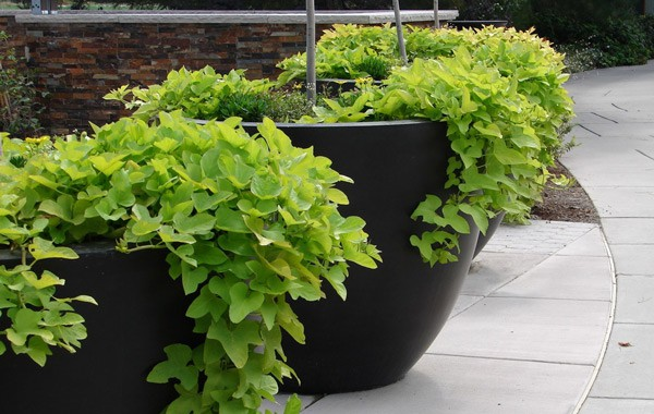 Grow Sweet Potatoes in Containers