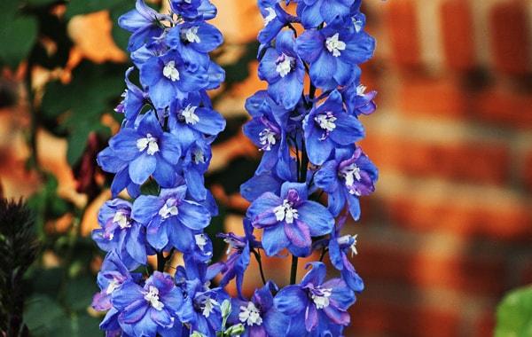 larkspur blue flower