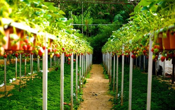 strawberry farm berries