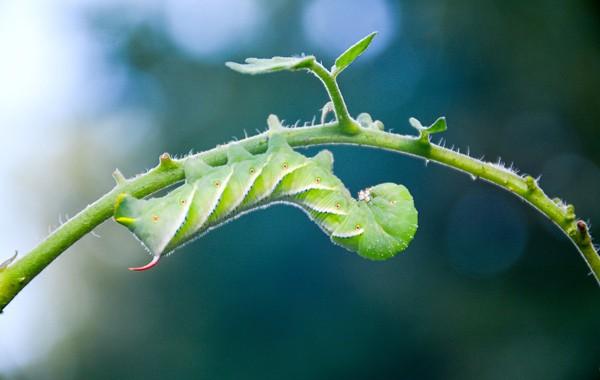 caterpillar tomato hornworm