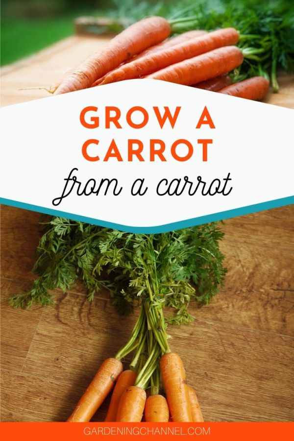 carrots on cutting board and harvested carrot with text overlay grow a carrot from a carrot