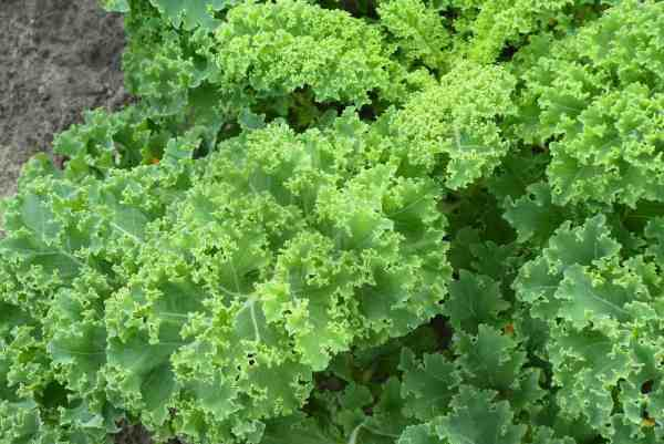 kale plant in garden