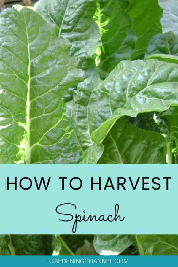 spinach leaves with text overlay how to harvest spinach