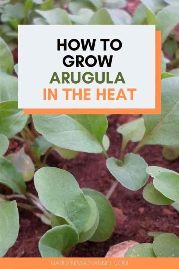 arugula in garden with text overlay how to grow arugula in the heat