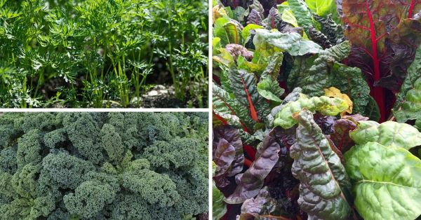 companion planting tips swiss chard