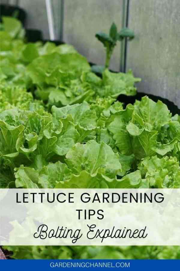 lettuce patch with text overlay lettuce gardening tips bolting explained