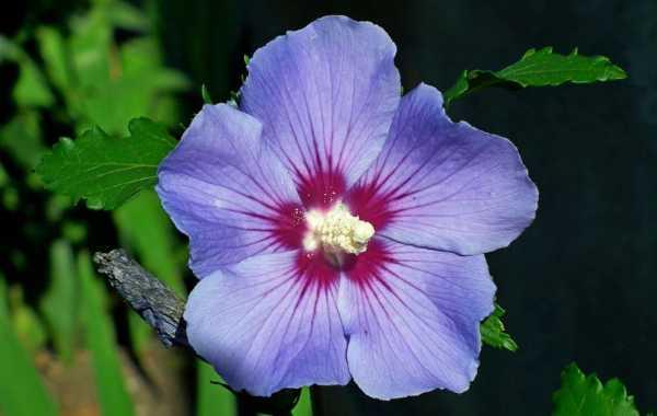 Hibiscus syriacus Blue Bird