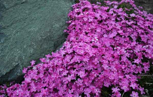 Phlox subulata with pink flowers