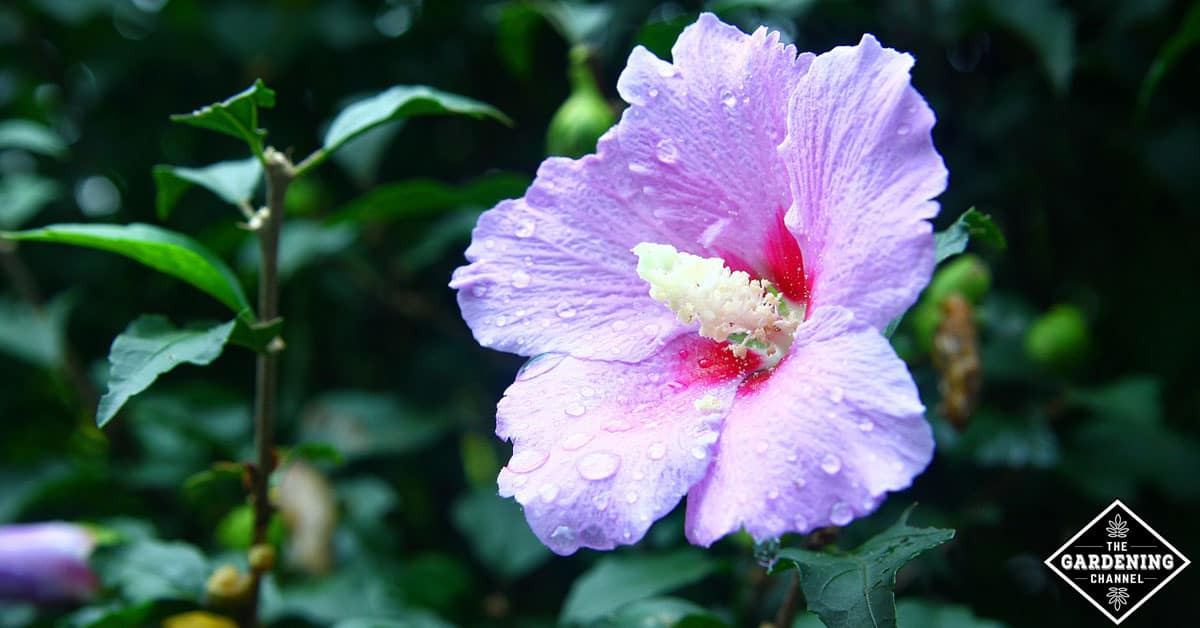 Rose of sharon plant