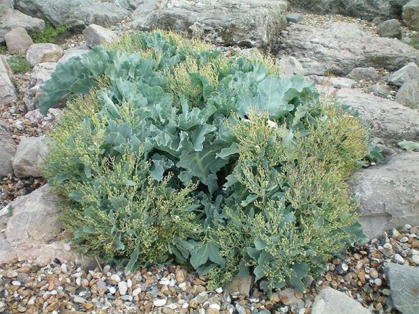 Sea Kale wild plant