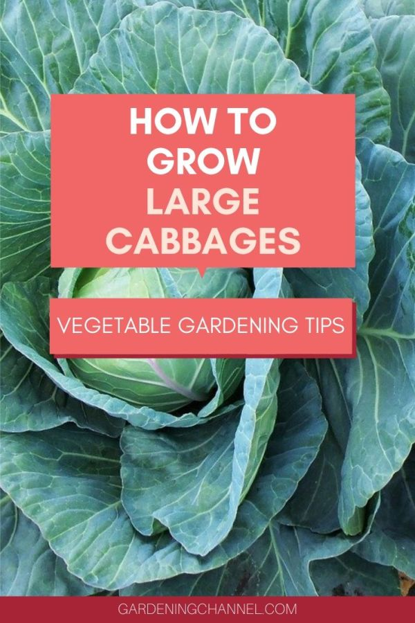 cabbage in garden with text overlay how to grow large cabbages vegetable gardening tips