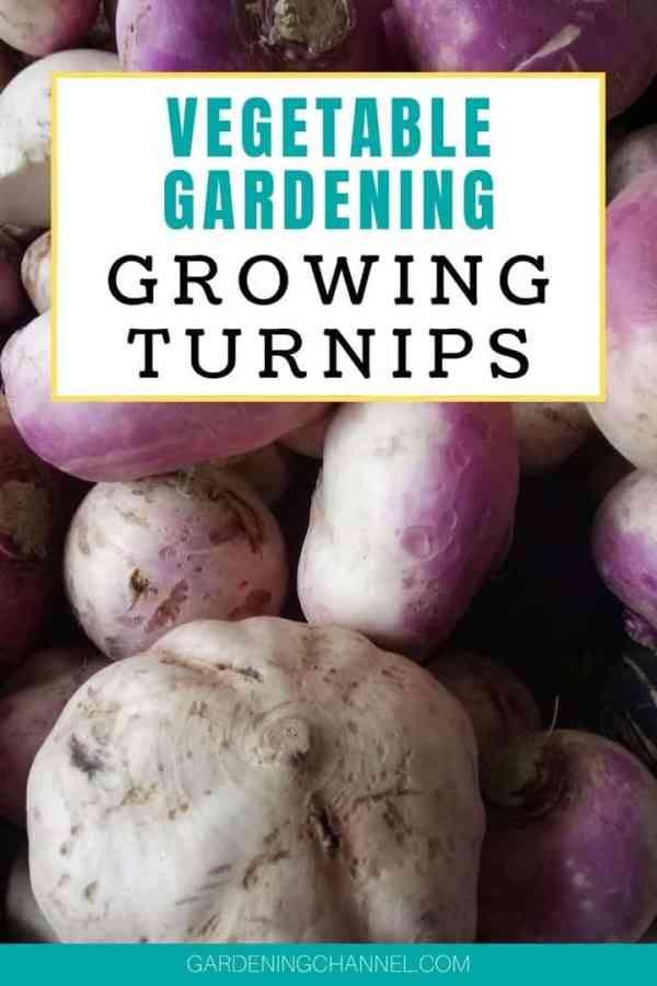 harvested turnips with text overlay vegetable gardening growing turnips
