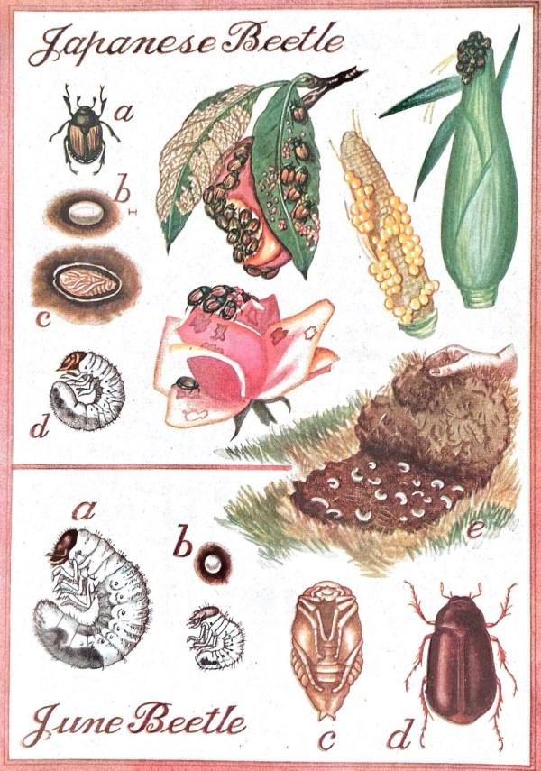 japanese beetle and june beetle june bug illustration