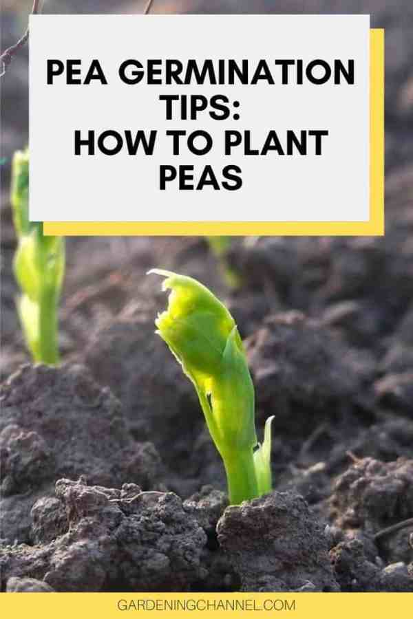peas sprouting with text overlay pea germination tips how to plant peas