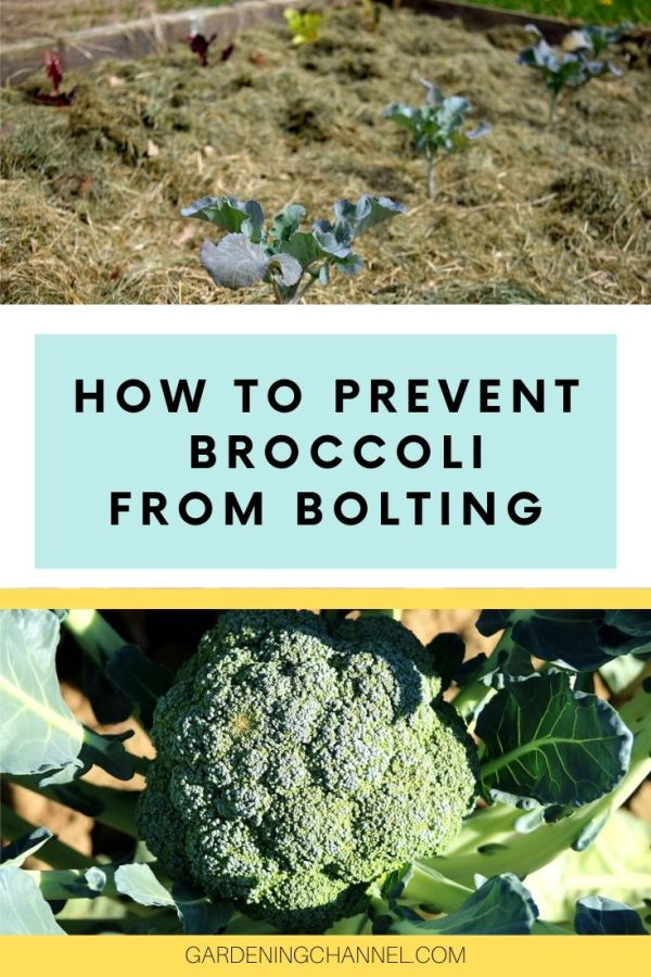 mulched broccoli plants garden broccoli with text overlay how to prevent broccoli from bolting