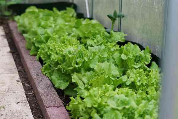 what happens when lettuce bolts