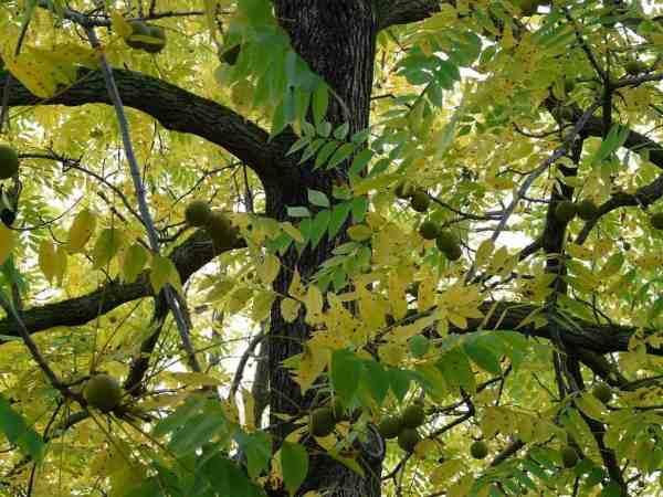 black walnut tree growing