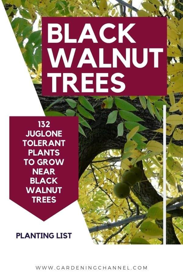 black walnut tree with text overlay black walnut trees 132 juglone tolerant plants to grow near black walnut trees