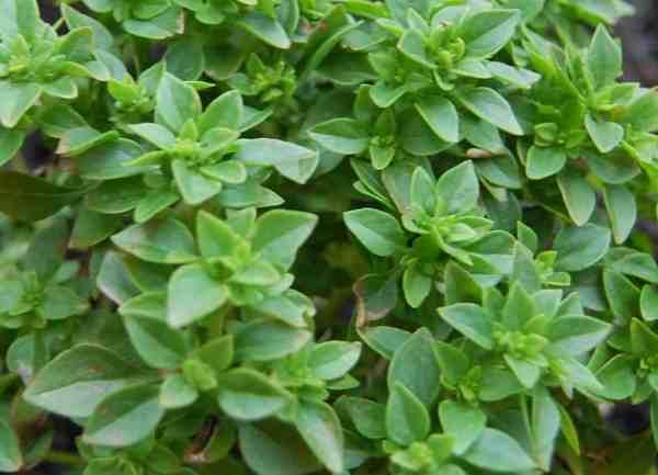 boxwood basil plant